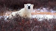 Полярные медведи (2012) BDRip 720p от NNNB